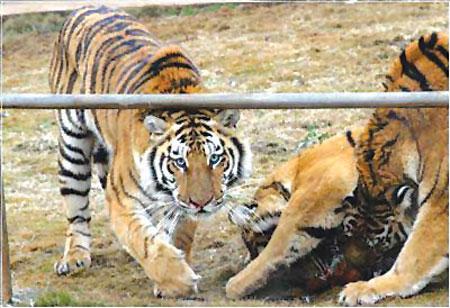 湖北宜昌动物园东北虎遭猎杀被剥皮